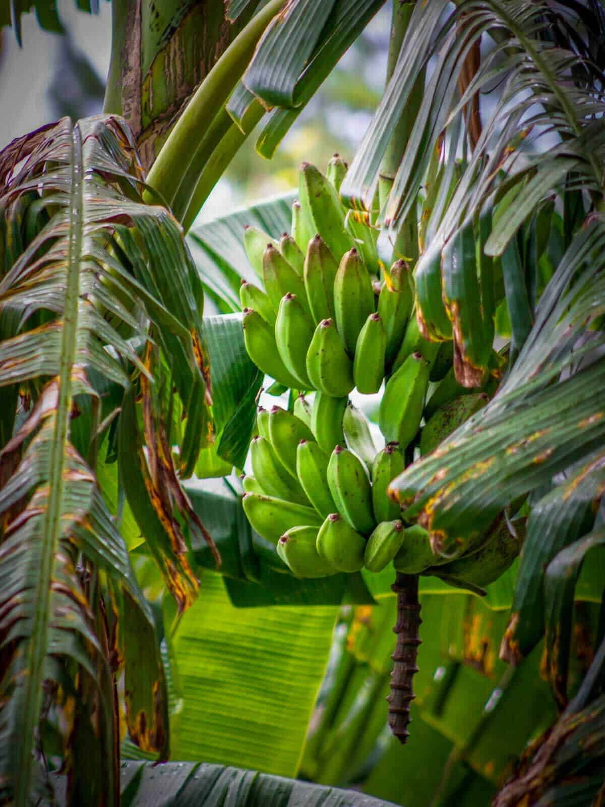green plantains in their tree