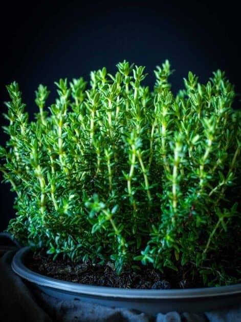 Fresh Thyme plant